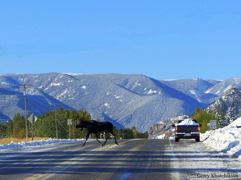 Moose Monday Not Your Usual Moose Crossing In Red Lodge