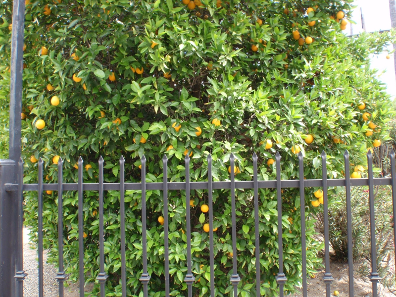 Orange Grove Close up in Tarzana by Endre Barath,JR