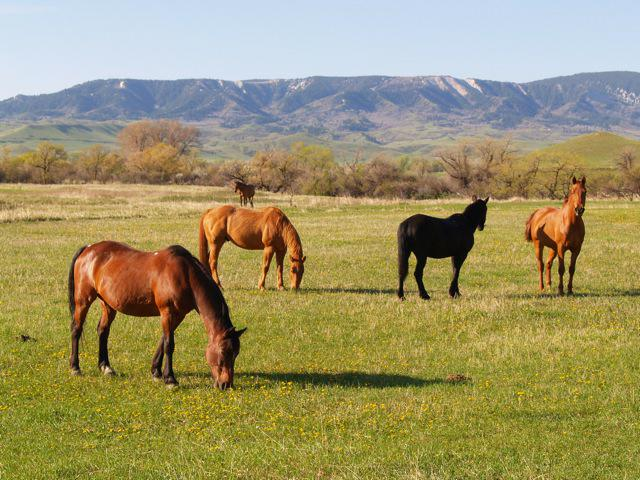 horses grazing near Big Horn