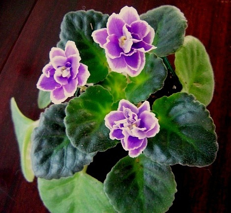 African Violets - How to take care of them - tweidman.com