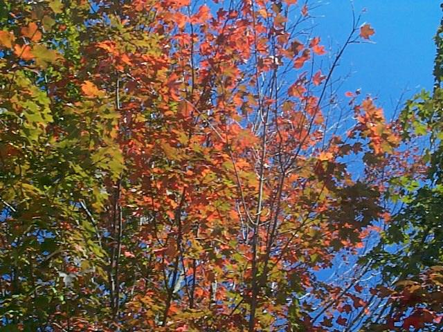 Orange Fall Leaves Against Blue Sky in Portsmouth NH