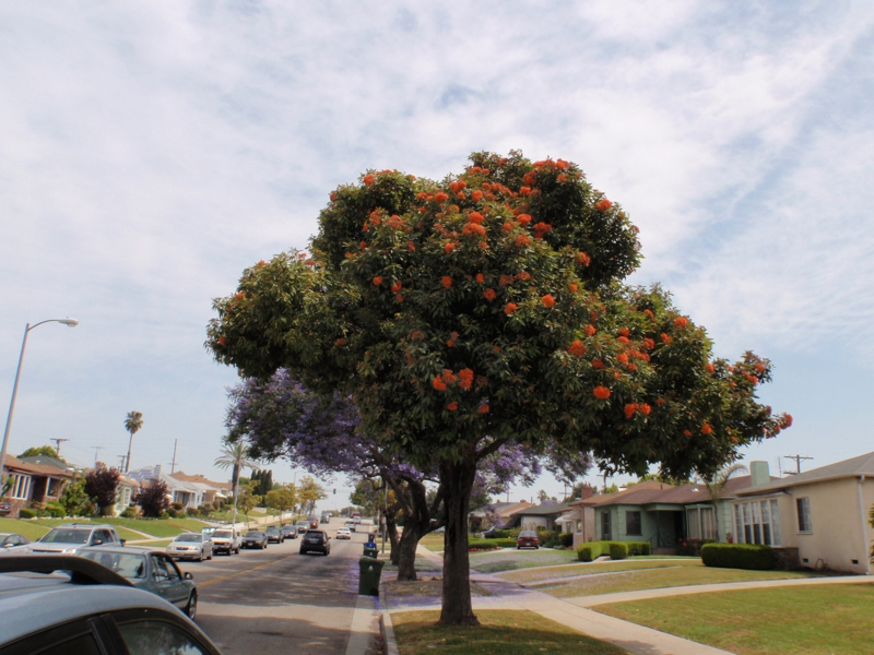 another tree blooming in los angeles