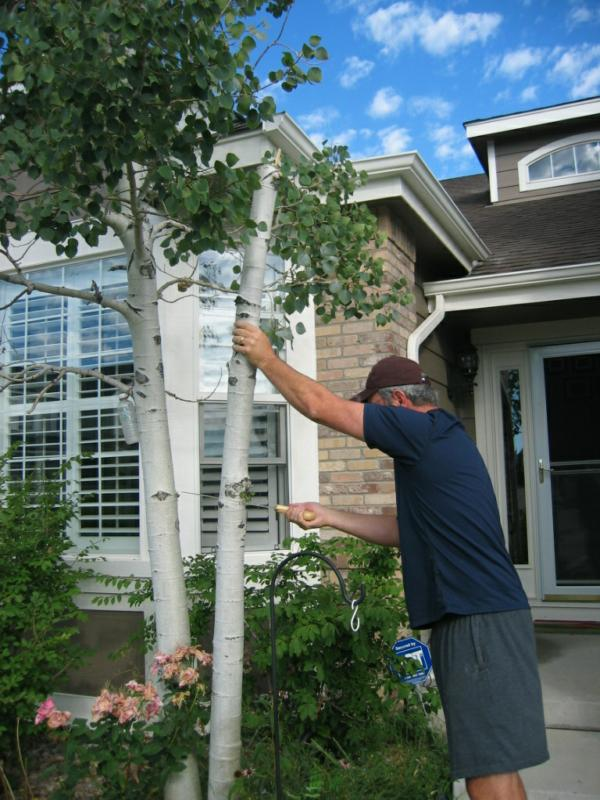 Denver Homes Living In Metro Why Aspen Trees May Not Be The Best Choice For