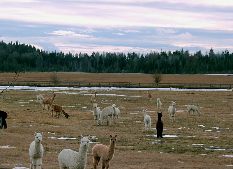 Snowmass Alpacas off Rapid Lightning