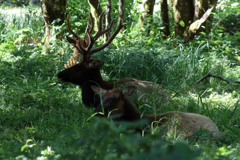Elk in the Redwoods