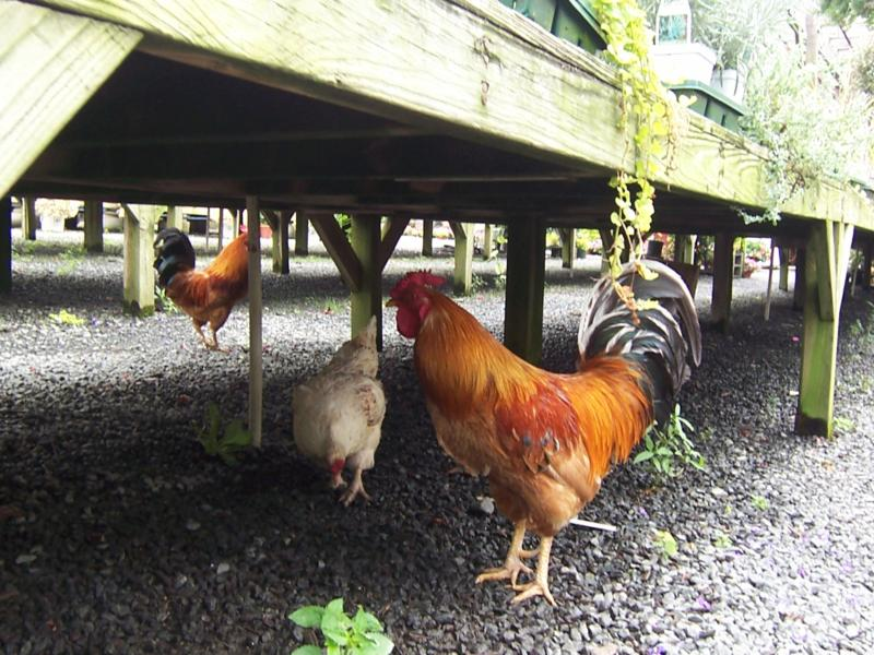Nalls Produce Rooster and Chickens