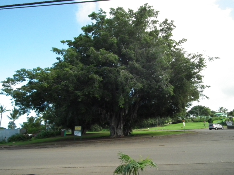 Banyan Tree Hawi Hawaii