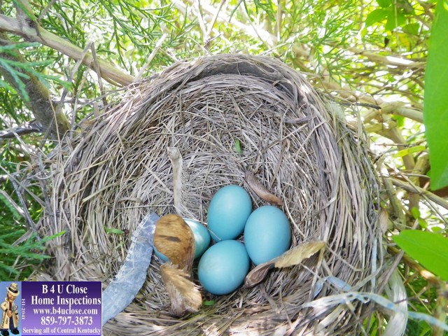 Lexington Kentucky Home Inspector, Robins Nest with eggs