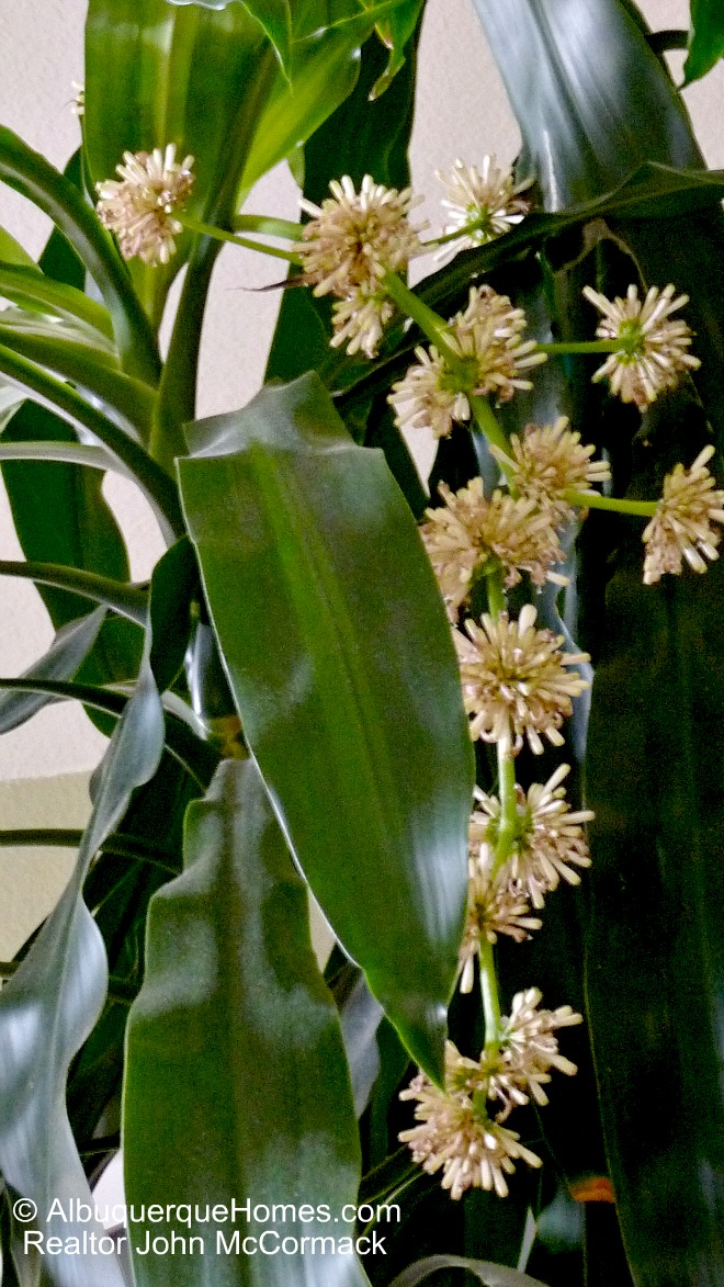 Blooming Corn Plant