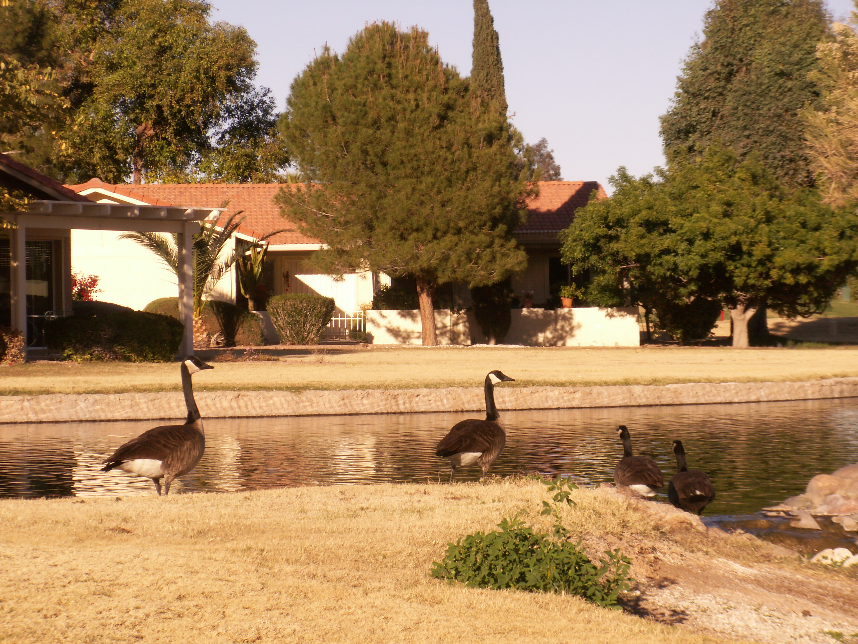 geese at Leisure World lake