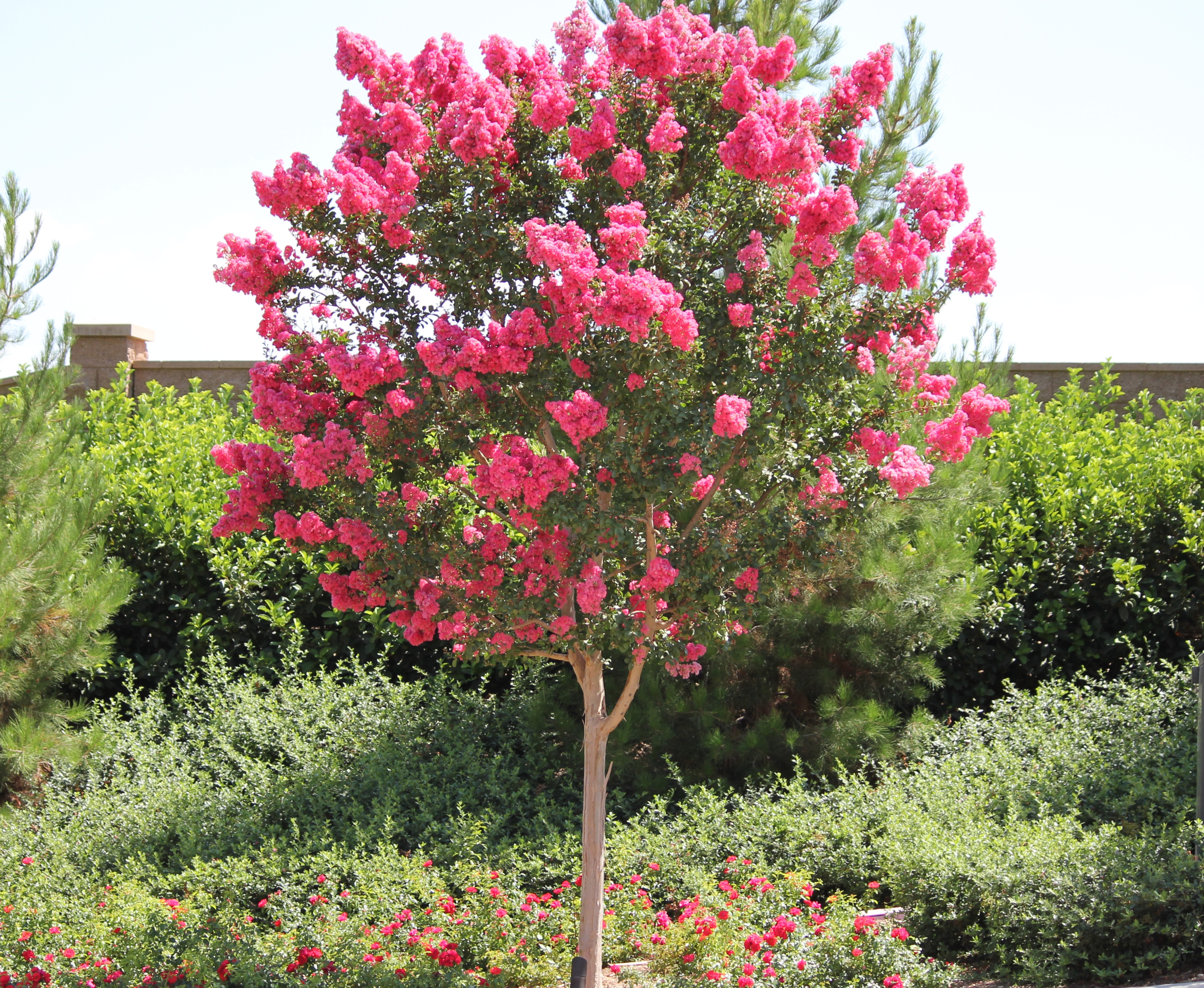 Colorful Crepe Myrtles