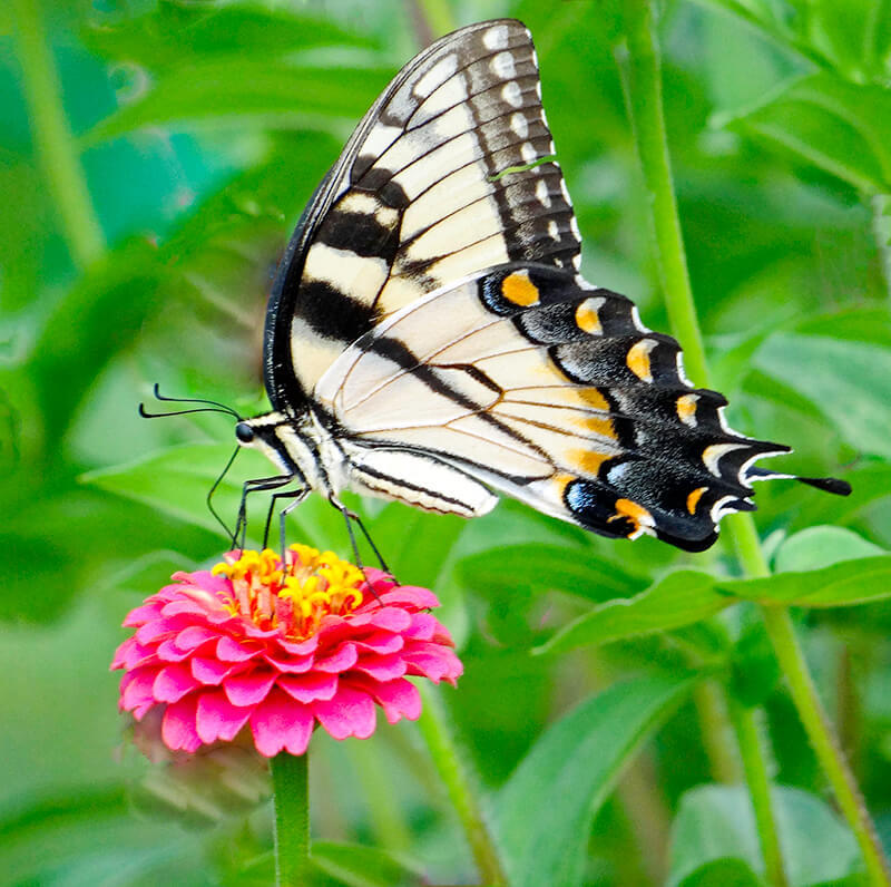 Butterfly-Feediing-On-Our-Flower