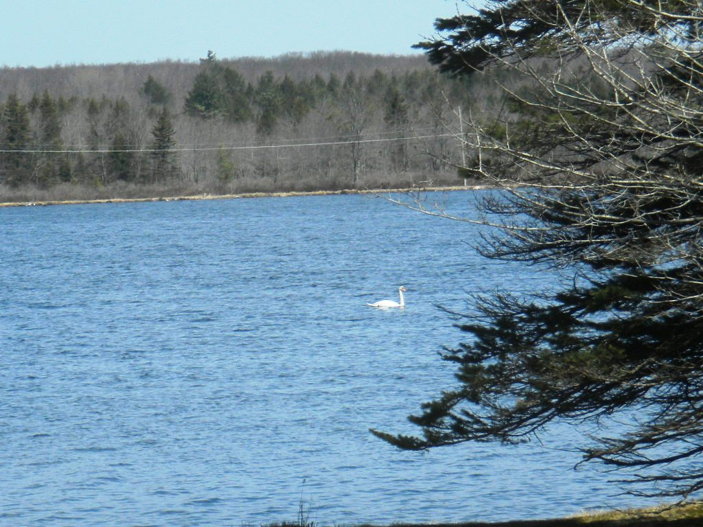Swan visiting Stillwater Lake