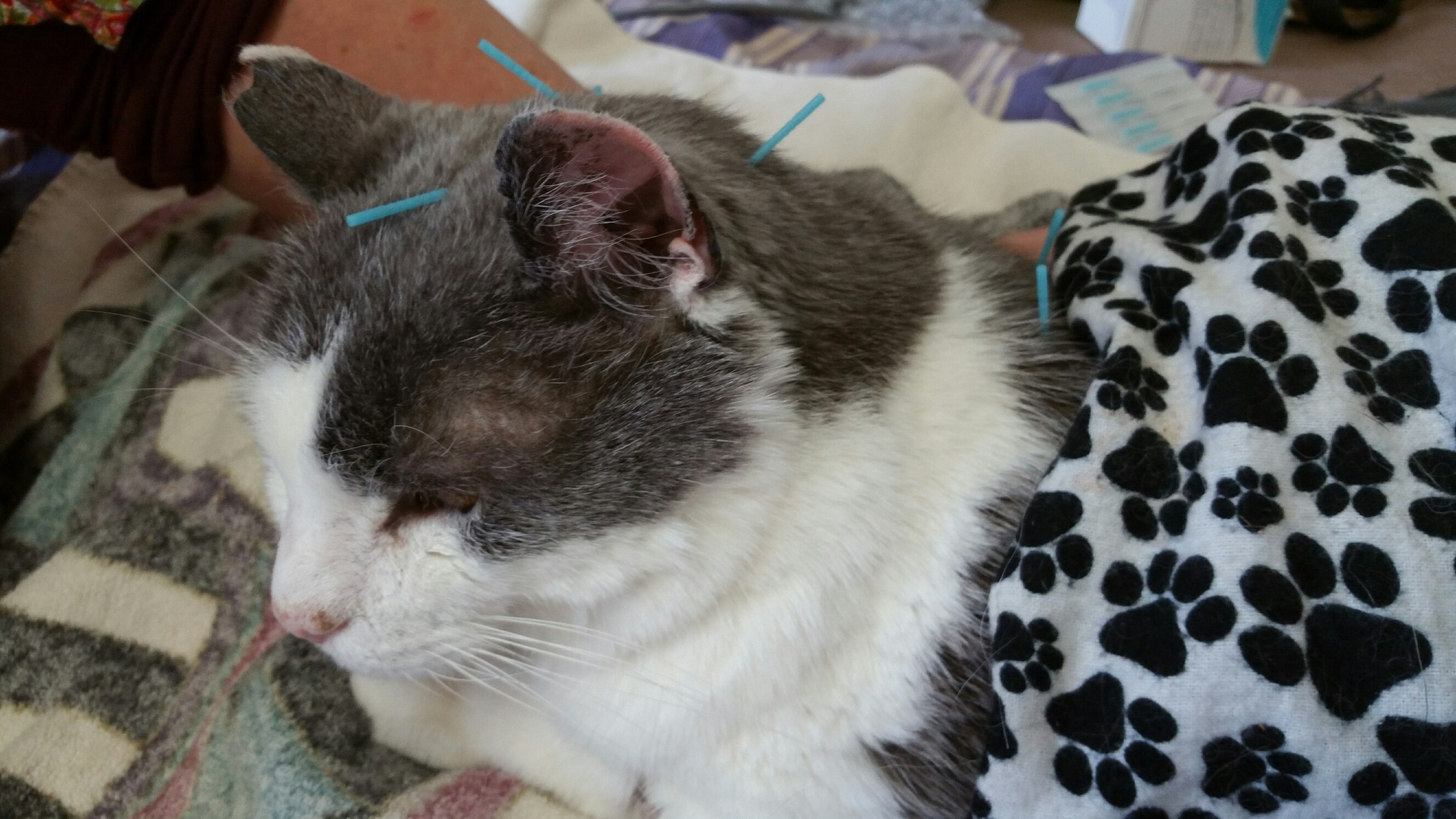 Gray Kitty gets as relaxed as can be during his treatments