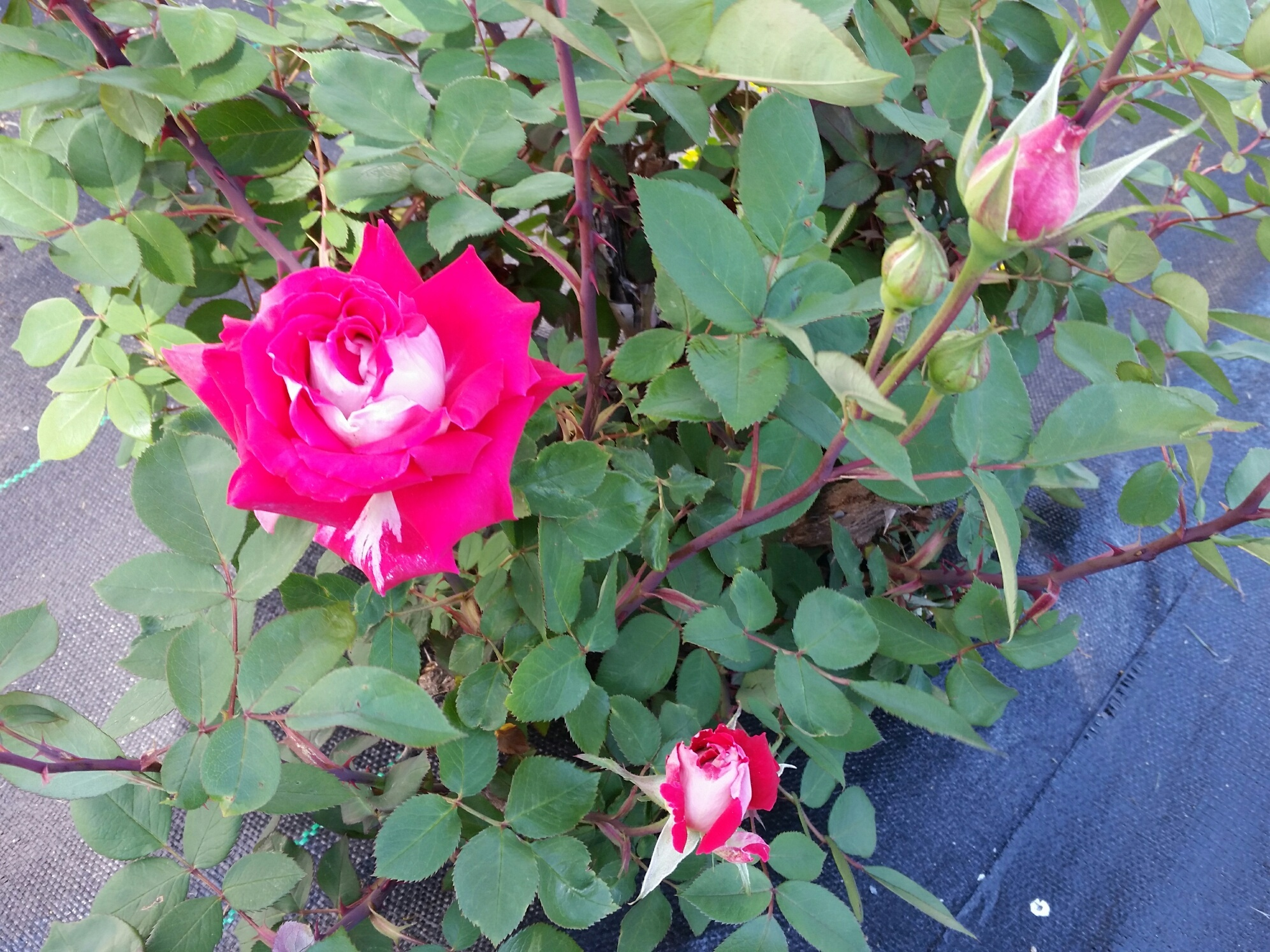 100 Happy Days Challenge: Day 22 (First Rose)