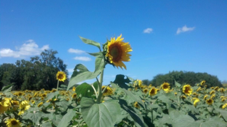 Word Wednesday: Sunflower