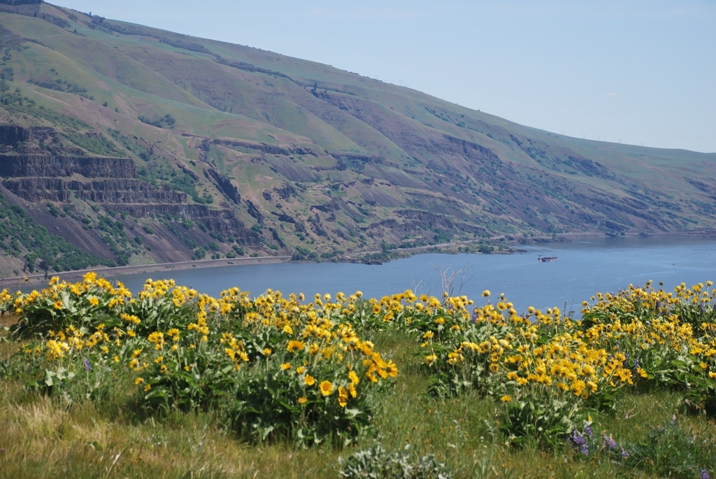 Balsamorhiza and the Columbia River May 2019