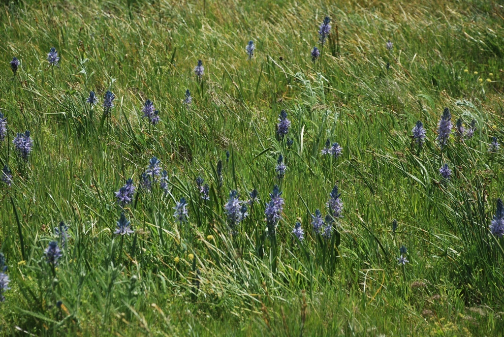 Camas Lilies in Bloom at Rowena Plateau May 2019