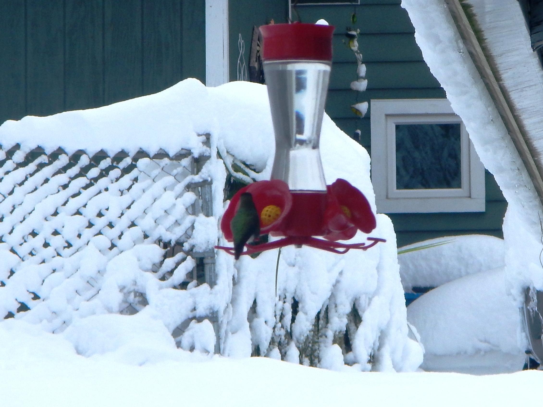 Calliope Hummingbird feeding in Winter 2017 - Vancouver WA