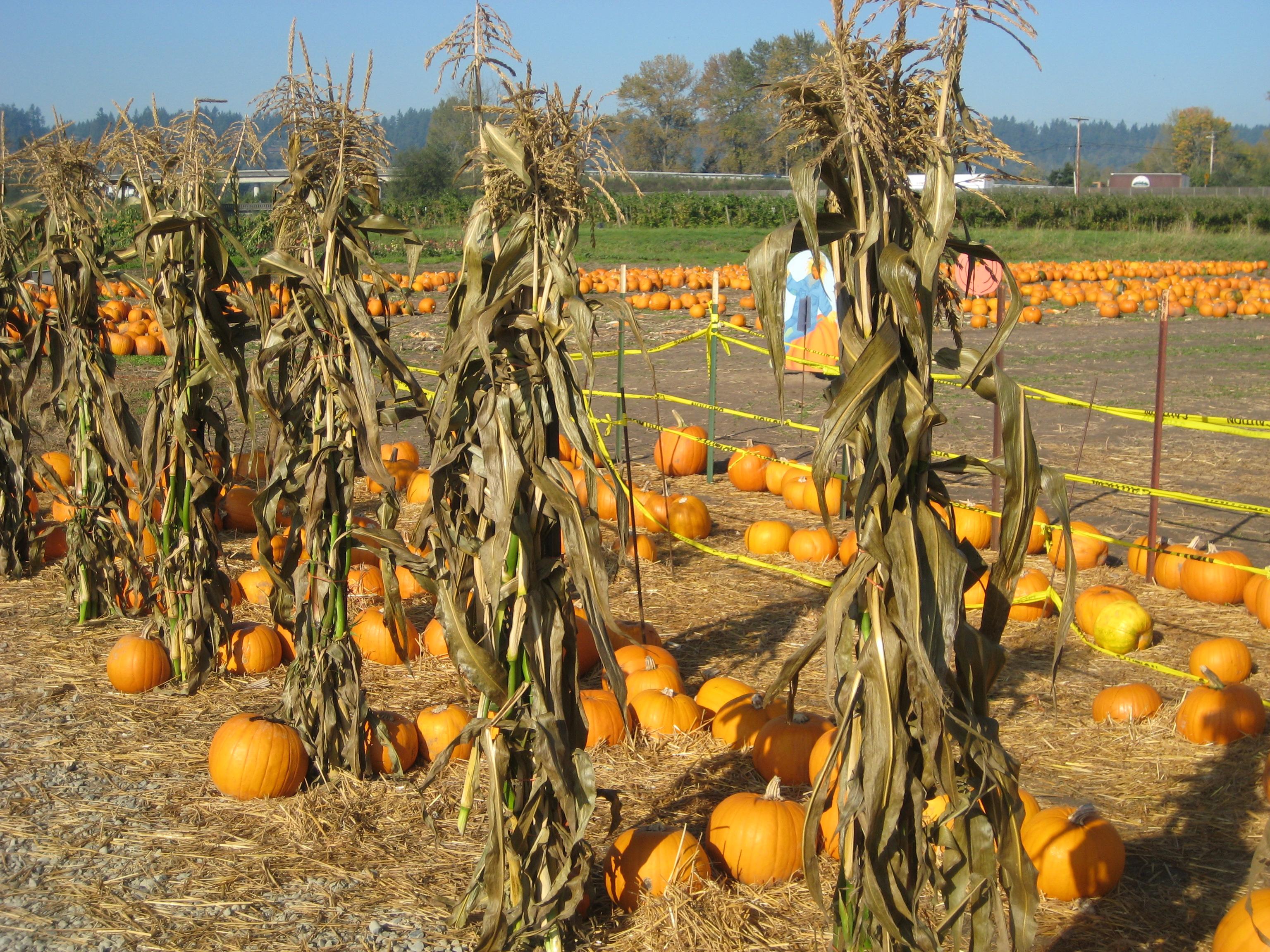 full moon night maze at schilter family farm lacey wa - Halloween Corn Stalks