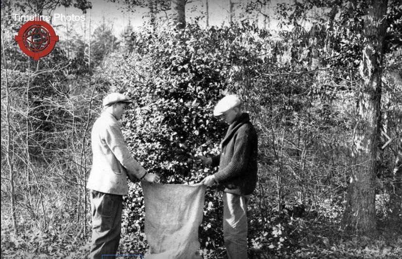Picking Holly