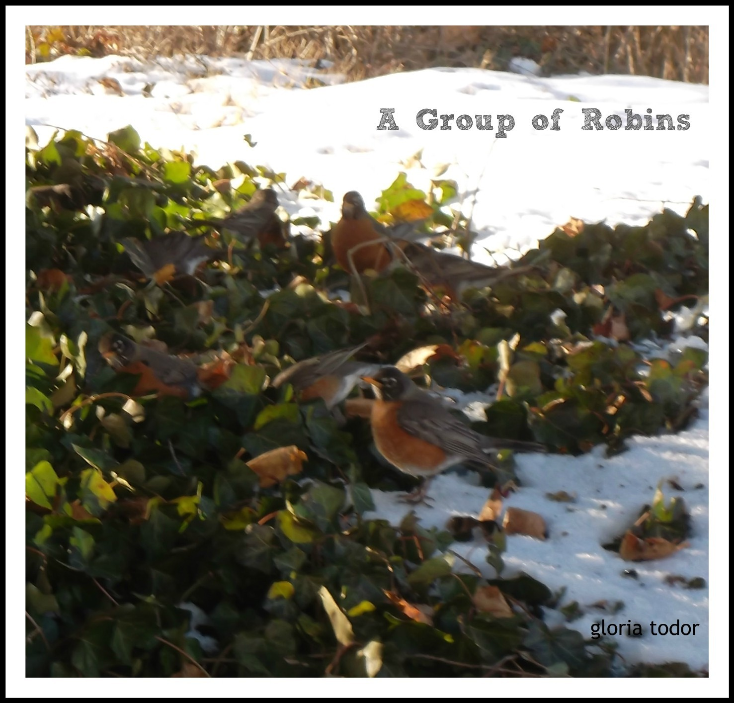 A Group of Robins in Delco