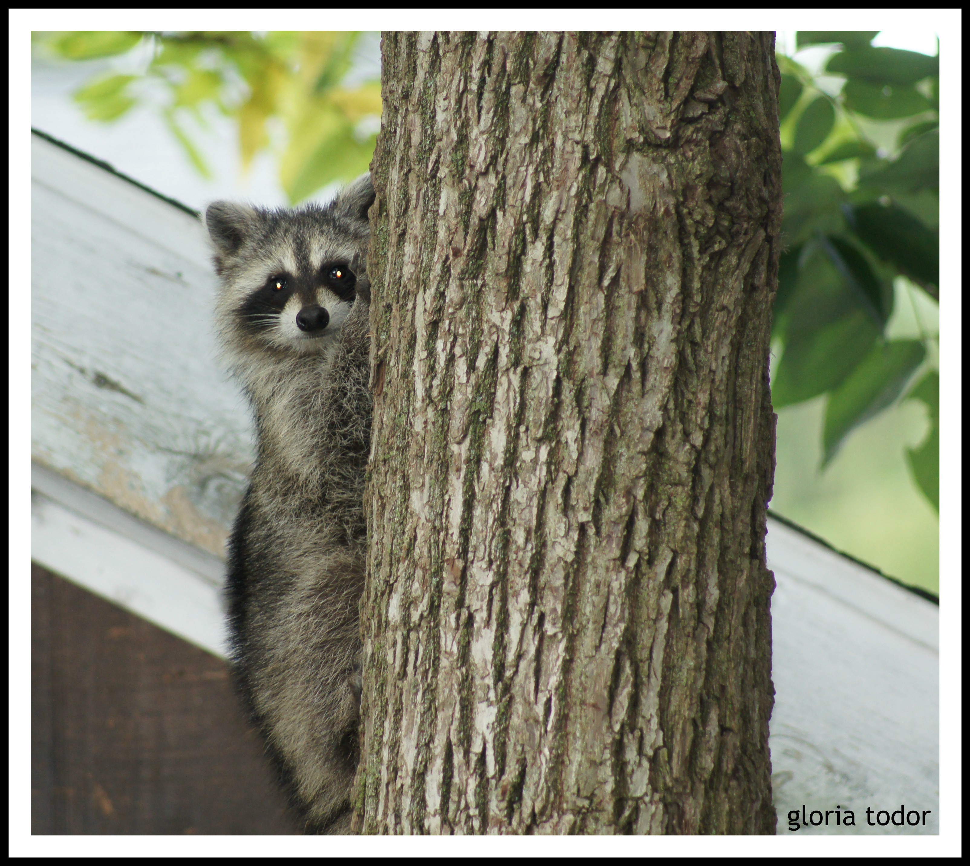 Raccoon in Delco