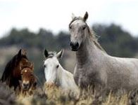 wild horses from BLM web site