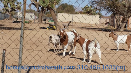 Goats in Palmdale, Endre Barath, Los Angeles real estate