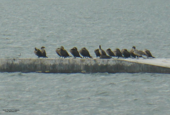 Harbor Seal Raft loaded with cormorants at alameda california alameda point photo by evelyn kennedy