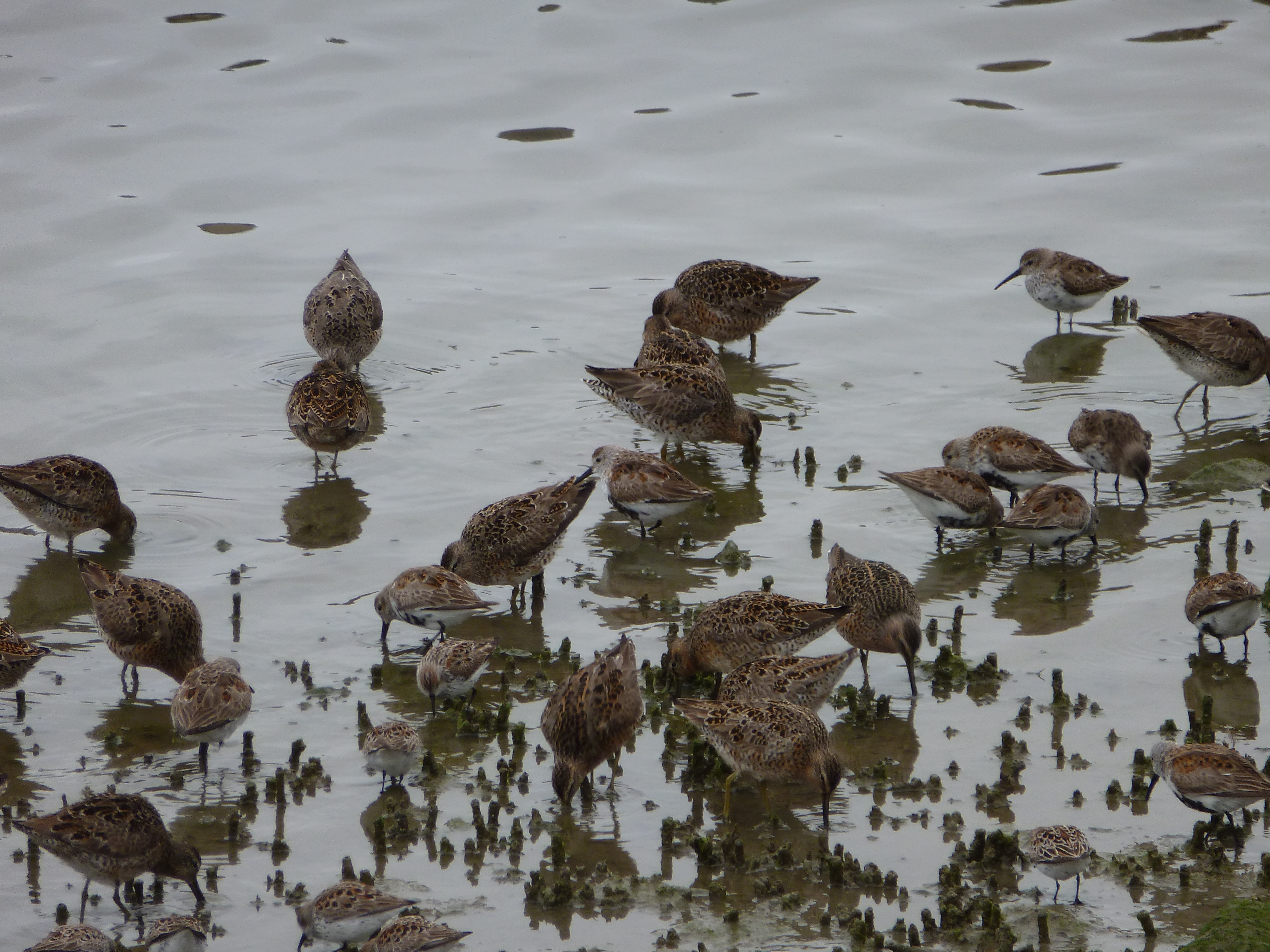migratory sand pipers at crab cove in alameda photo by evelyn kennedy