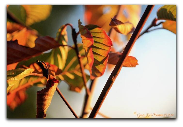 Gayle Rich-Boxman Autumn leaves at sunset-2014 Copyrighted All Rights Reserved