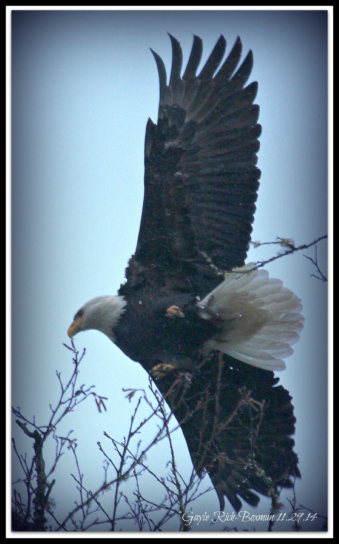 Bald Eagle in Birkenfeld OR-Gayle Rich-Boxman