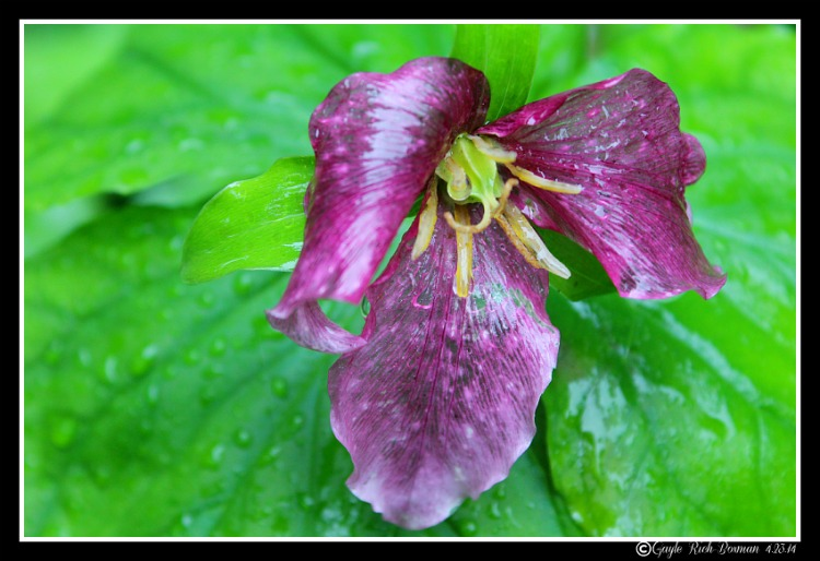 Trillium purple-Gayle Rich-Boxman 4.23.14 Copyrighted All Rights Reserved 2014