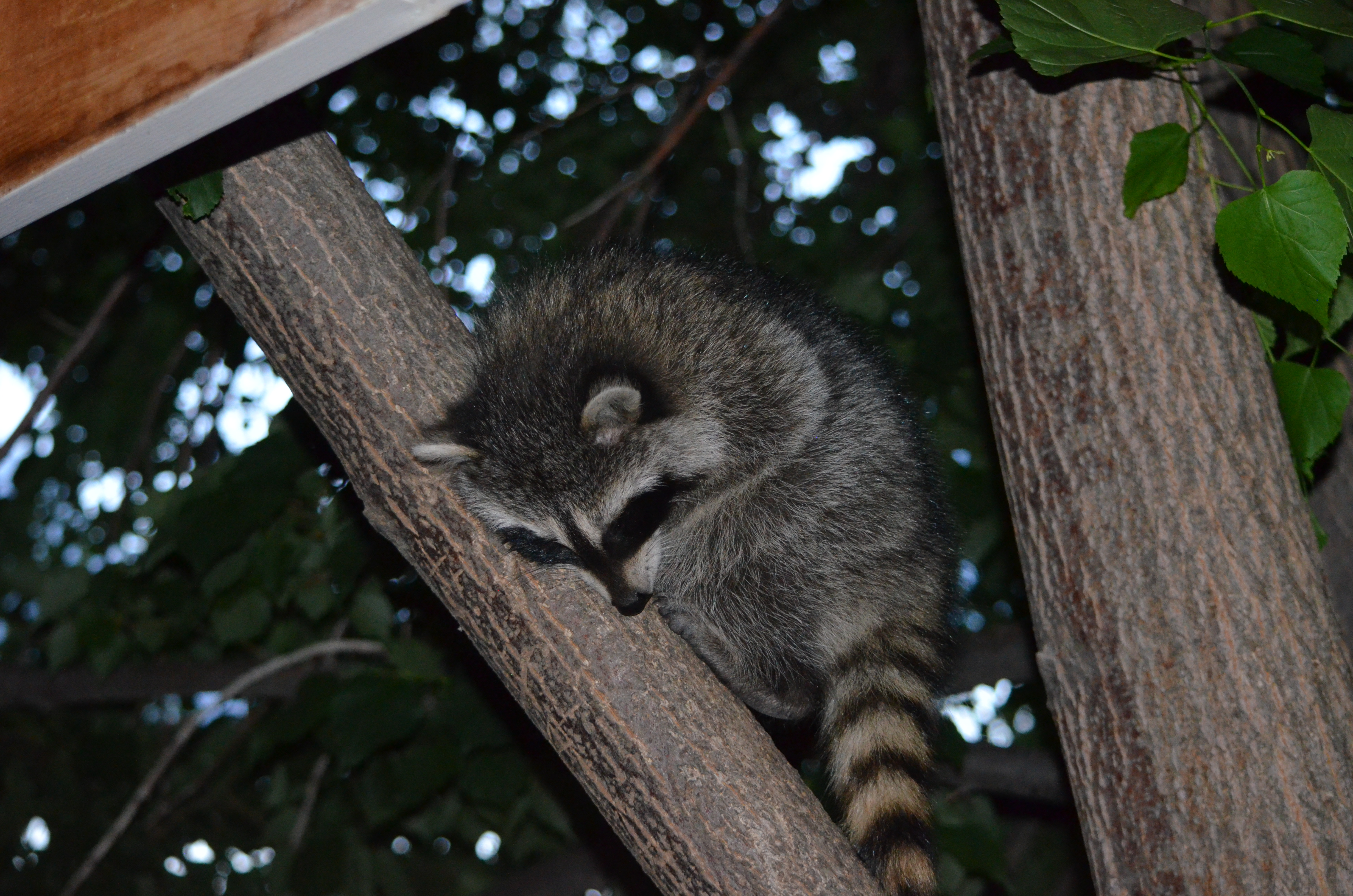 FIVE BABY RACCOONS IN MY TREE IN MY BACK YARD TONIGHT
