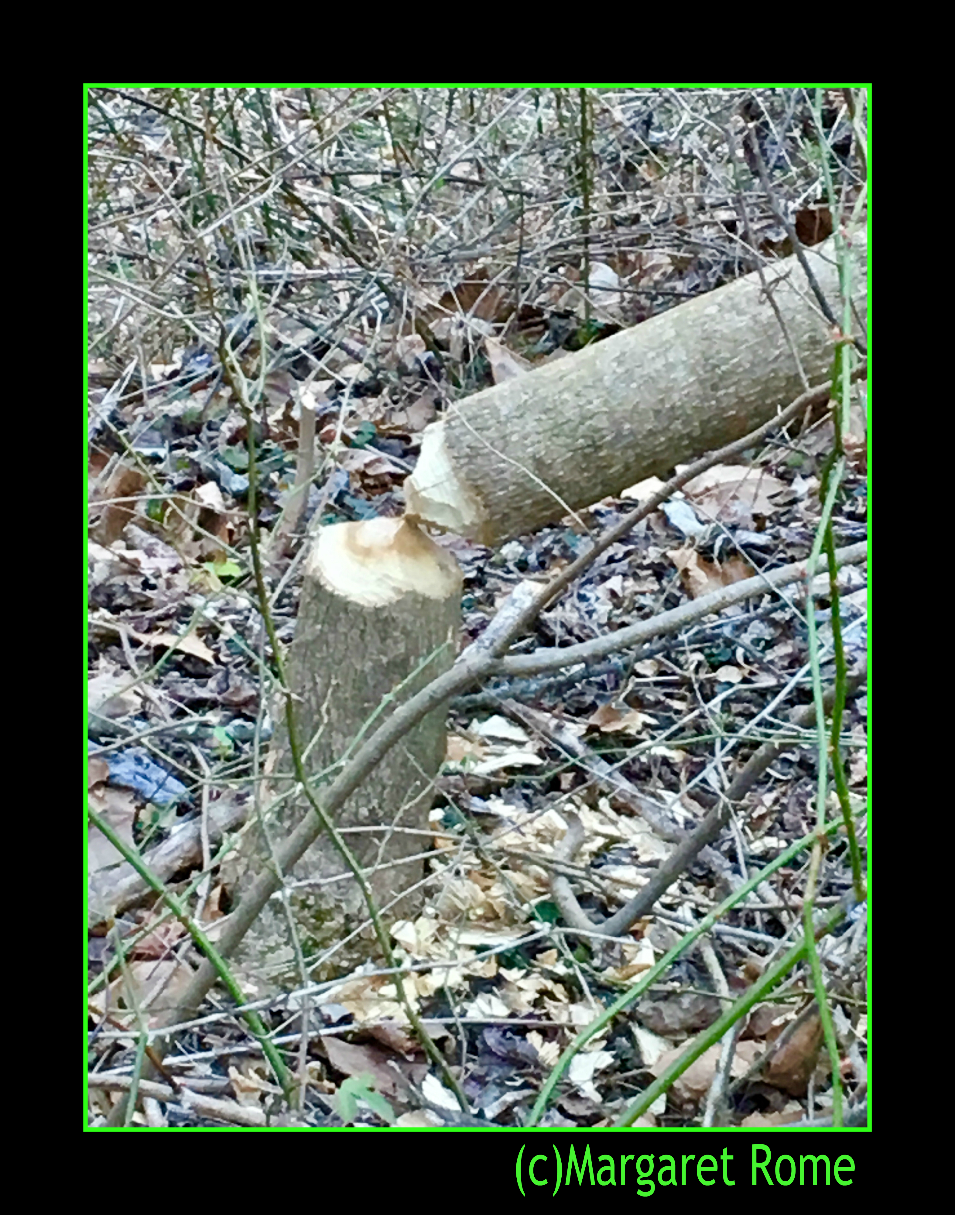 Tree downed by beaver