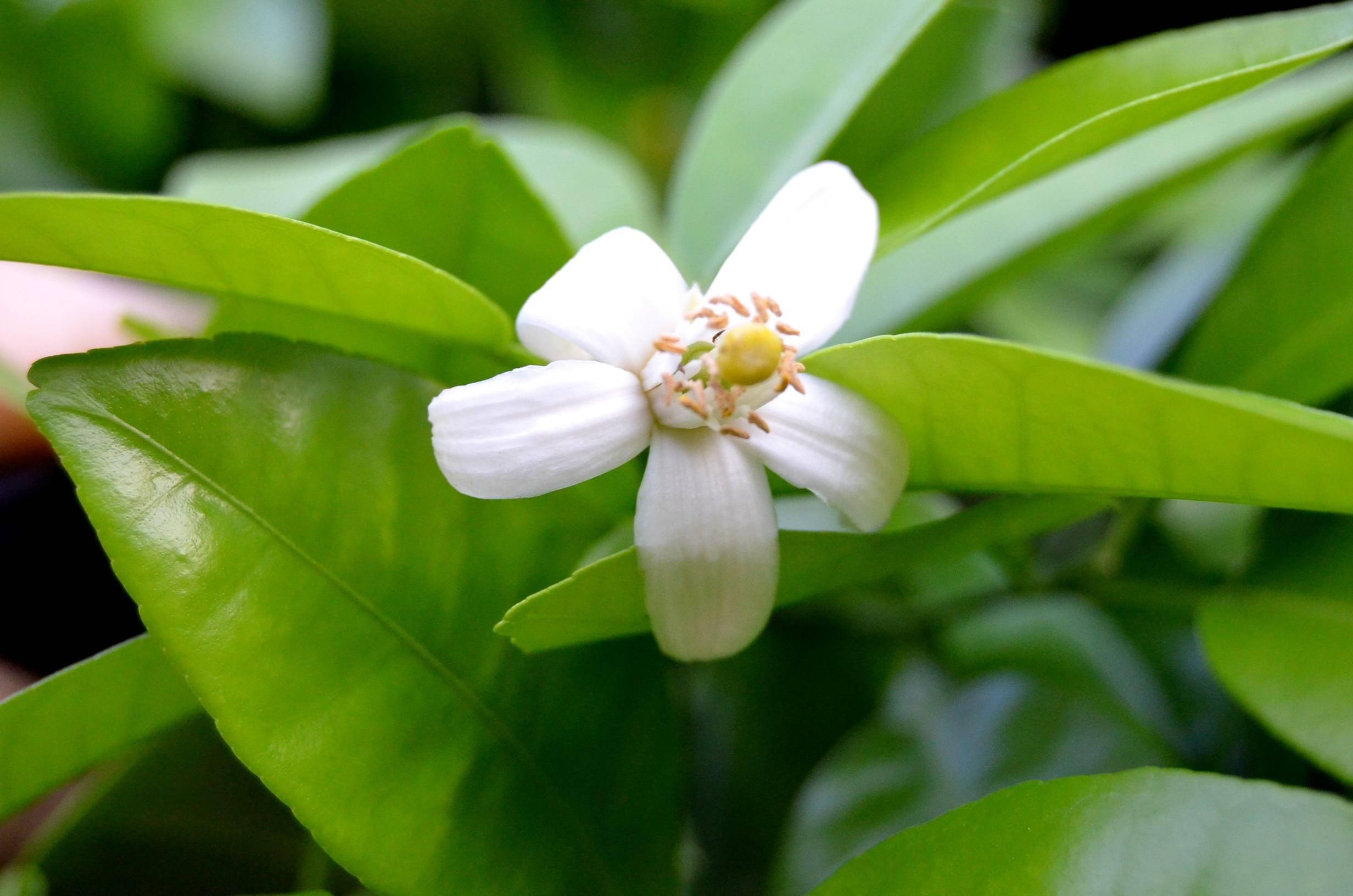 Serendipity sundays spring flowers lemon tree flower mightylinksfo
