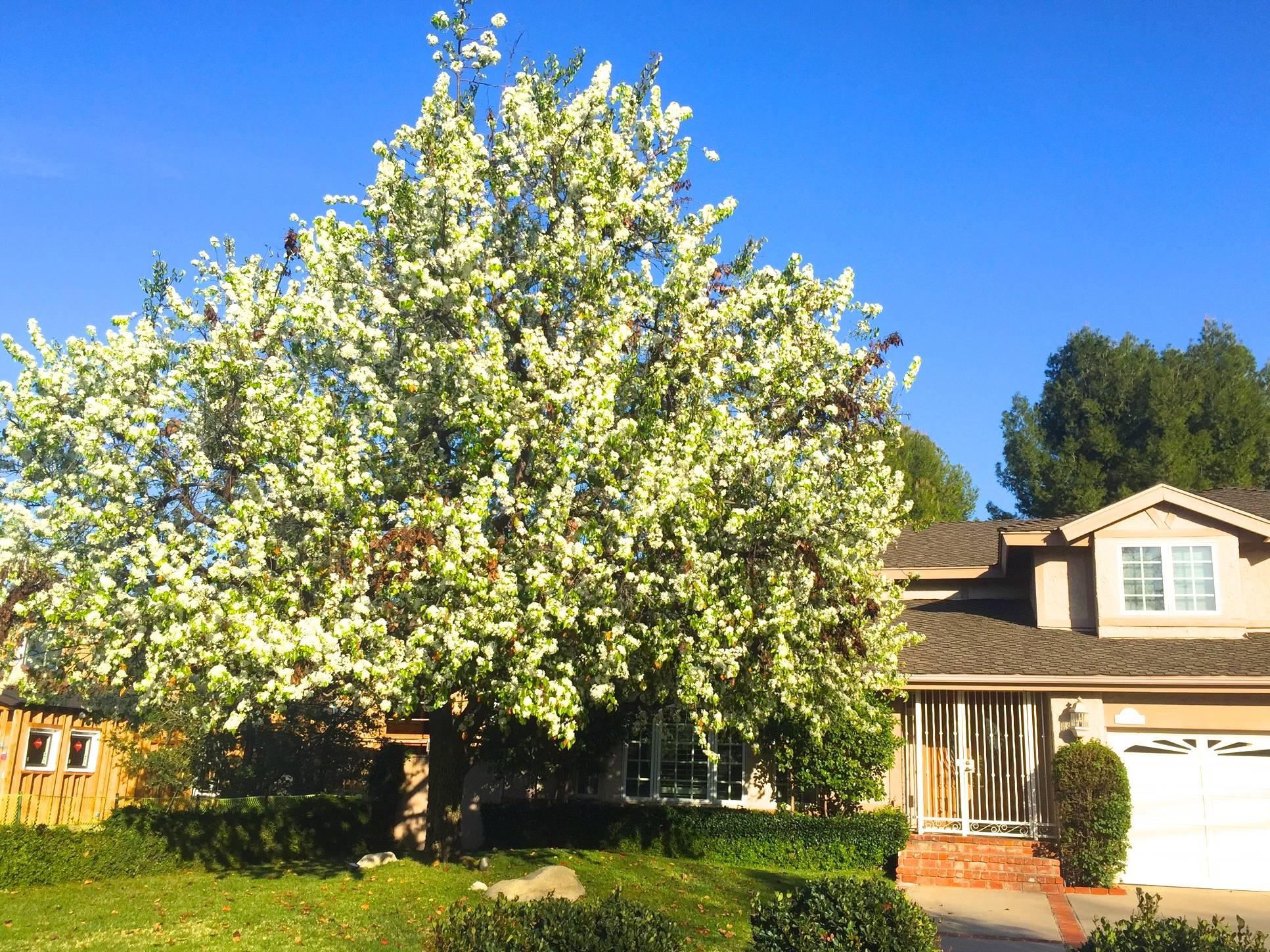 Encino blooms in february mightylinksfo