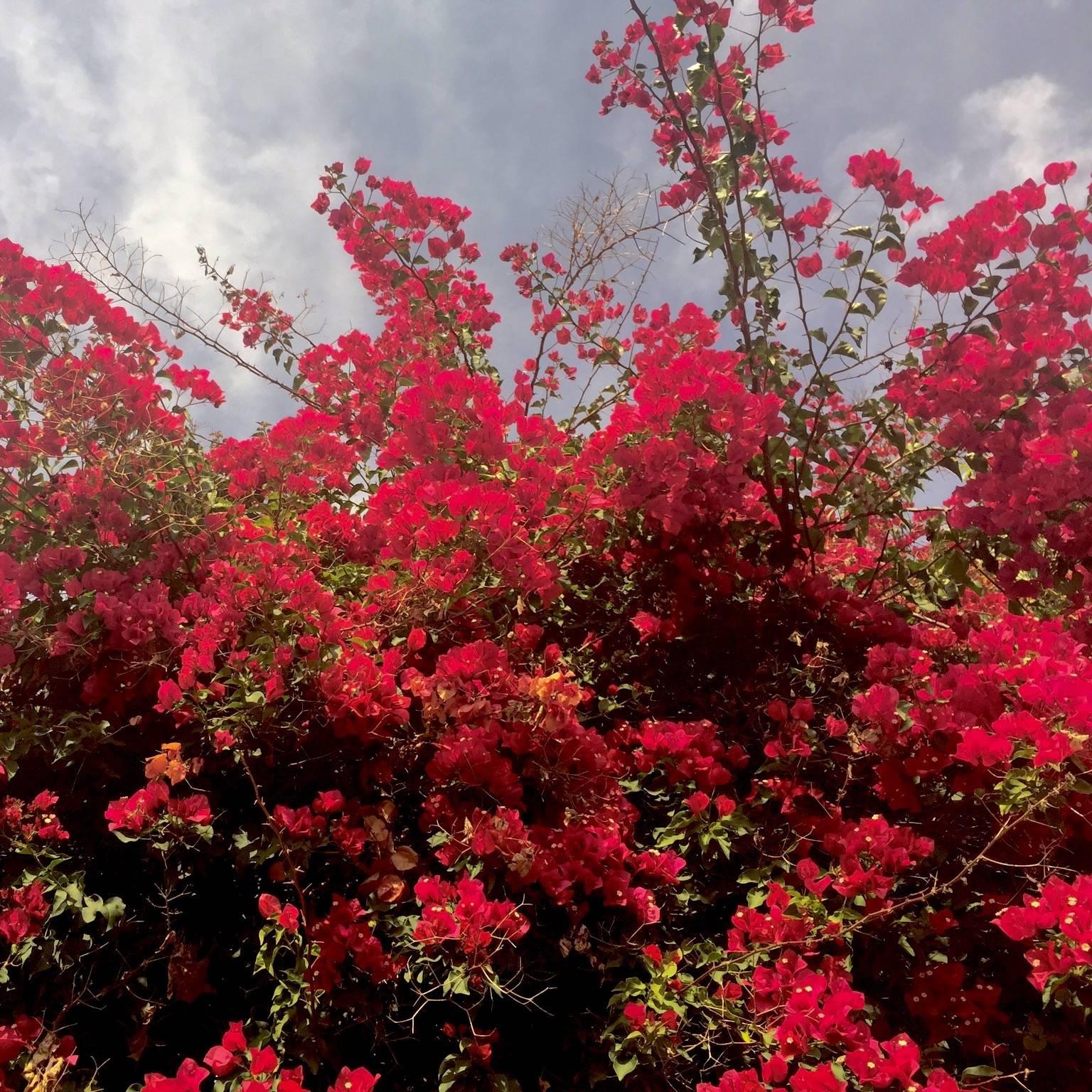 May blooms encino ca bougainvillea mightylinksfo