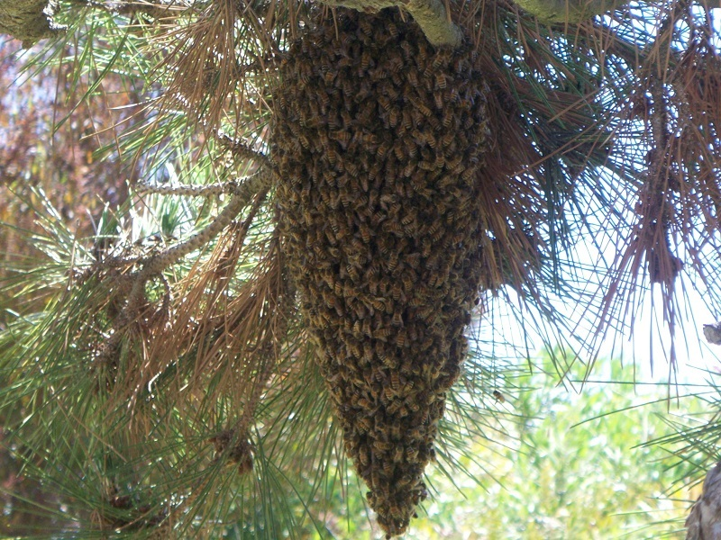 Bee Swarm in La Costa Carlsbad