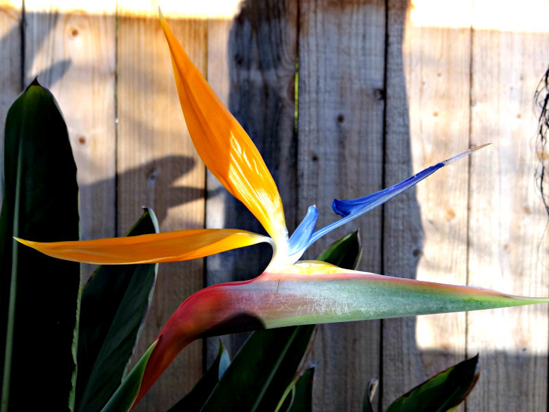 BIrd of Paradise flower in our Carlsbad yard