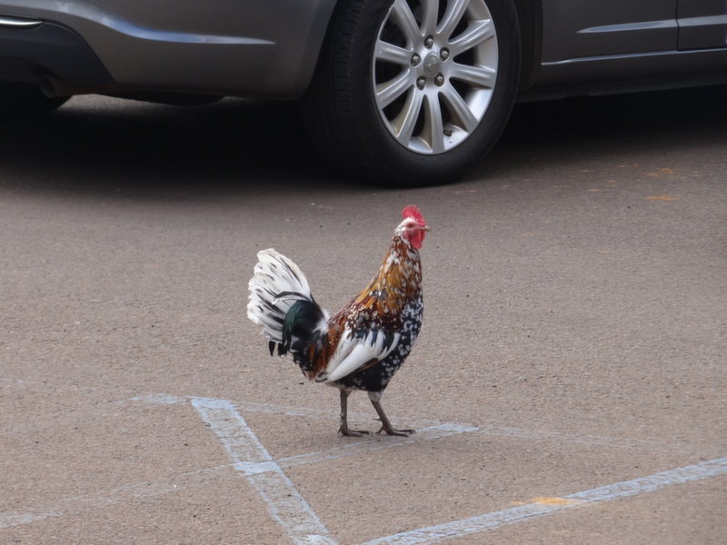 rooster crossing the road
