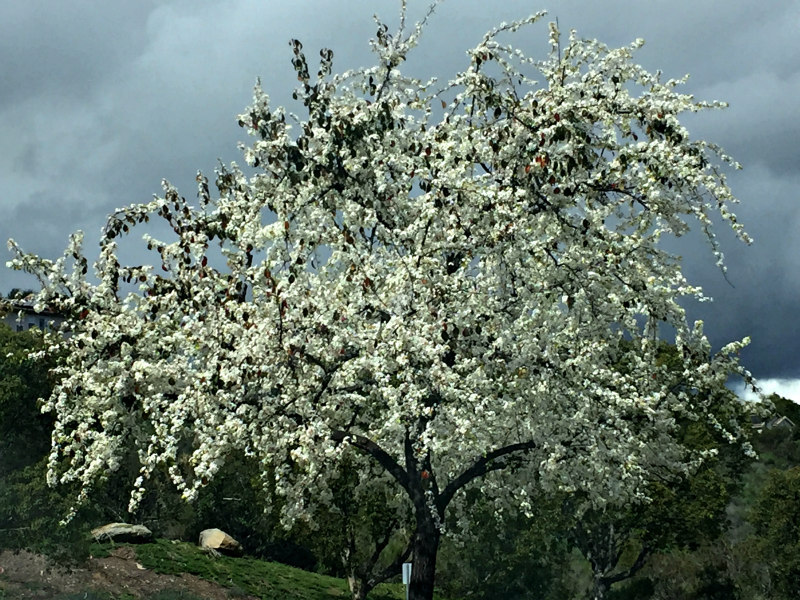 White Flowering Tree In Carlsbad Winter 2019