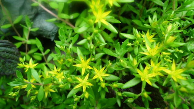 Mondays flower sedum ground cover sedum comes in many varieties this particular one with the green leaves and yellow star shape flowers is perfect as a grouind cover mightylinksfo
