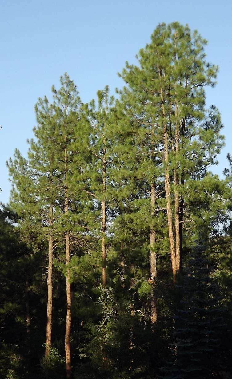 Homes in the Boulders and Ponderosa Pines in Precott