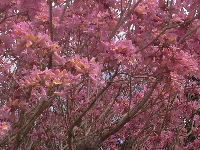 Pink trumpet treetabebuia heptaphylla flower tree florida gardening many developers plant the trees along roads and park setting areas of residential communities mightylinksfo