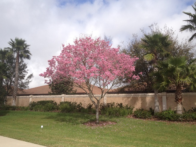 Pink trumpet treetabebuia heptaphylla flower tree florida gardening the bright gorgeous flowers attracted my attention when i was showing properties at venetian falls and heron shores pink trumpet tree description mightylinksfo