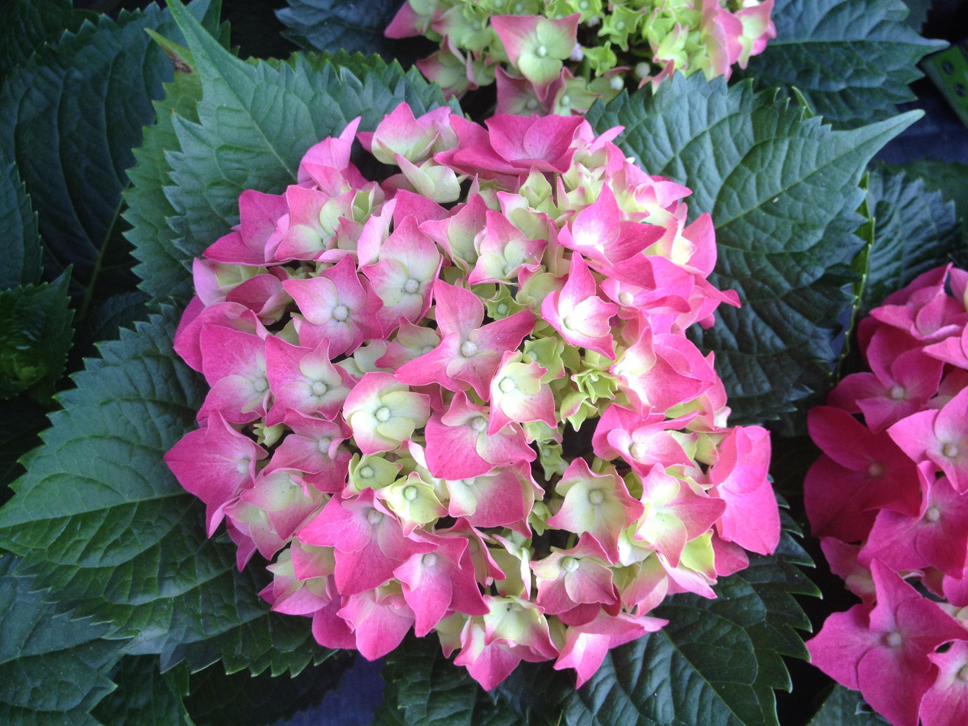 Hydrangea hydrangea macrophylla beautiful flowers for garden izmirmasajfo