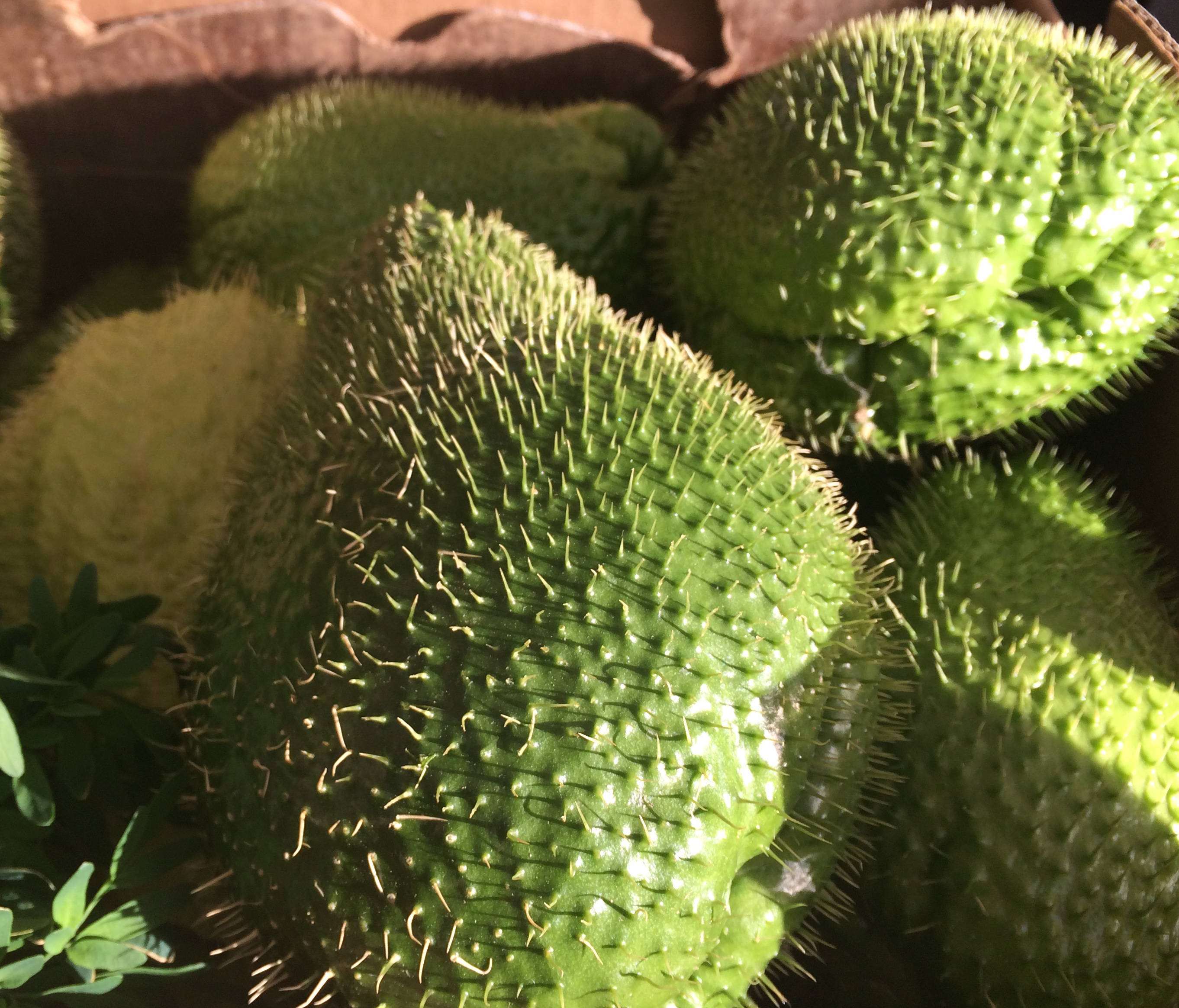 Saturday Smiles: Do You Know Prickly Chayote?