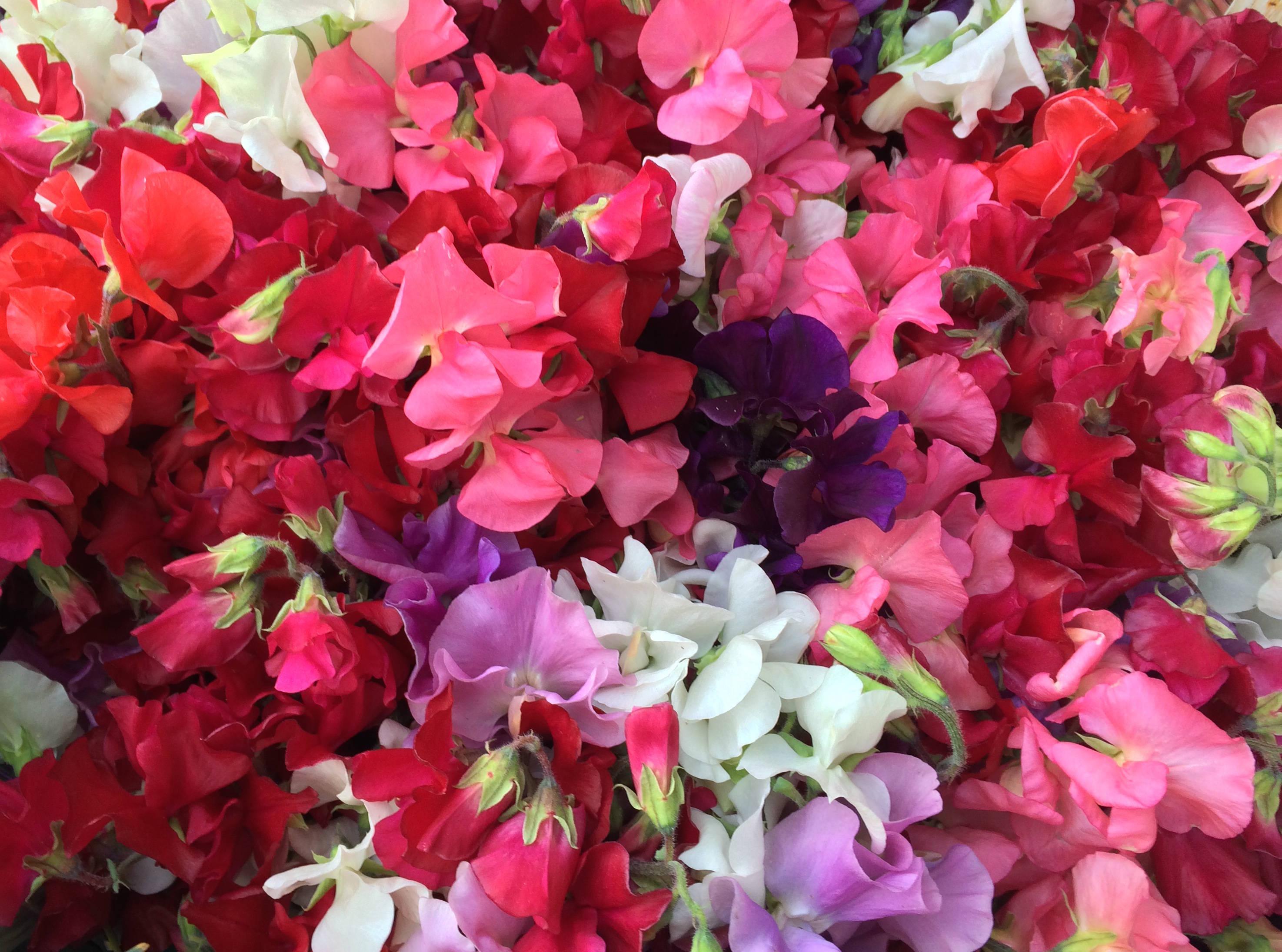 Speechless Sunday: The Beauty of Sweet Pea Flowers